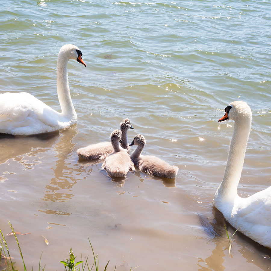 Swan with chicks. Mute swan family. Beautiful young swans in lak
