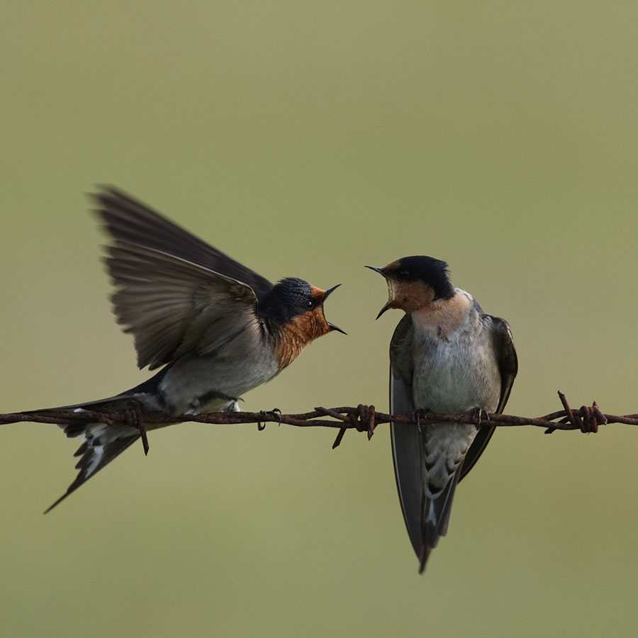 Welcome Swallows - Family Argument